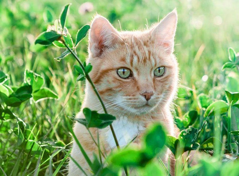 Razas de gatos wiki