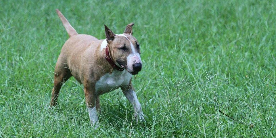 bull terrier ingles