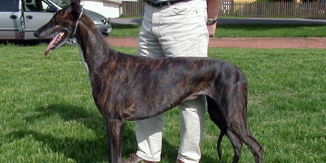galgo ingles o greyhound
