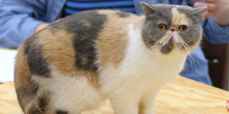 gato exotico pelo corto