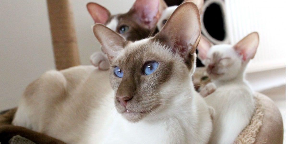 gato javanes