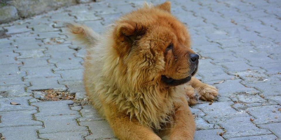 pequeño perro leon