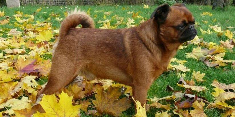perro brabancon