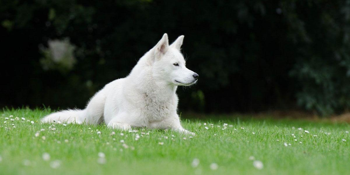 perro pastor blanco suizo