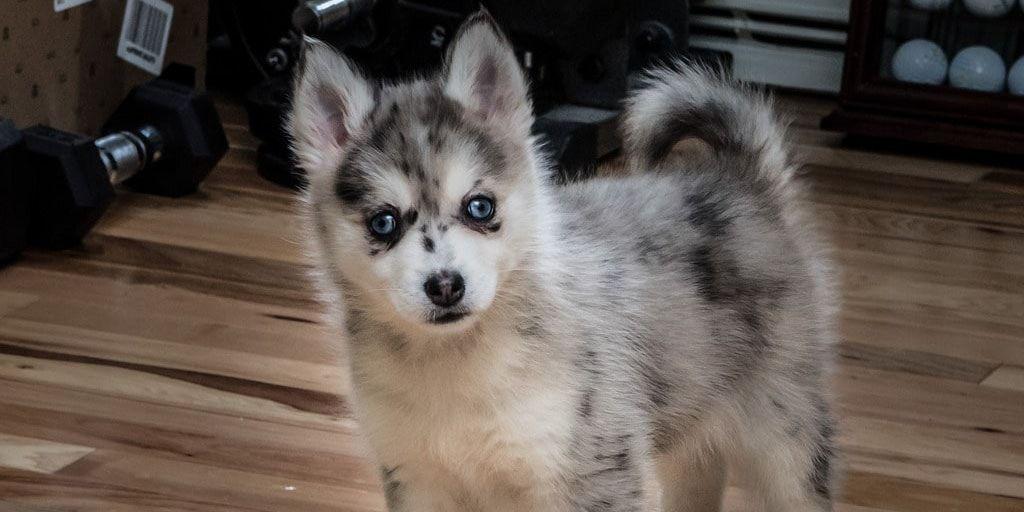perro pomsky