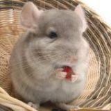 Chinchillas como mascotas: Cuidados y Alimentación