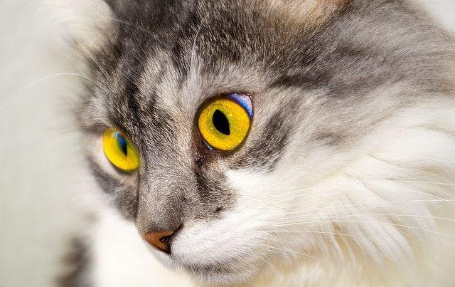 Estrés en gatos