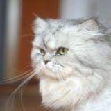 Enfermedades en gatos persas