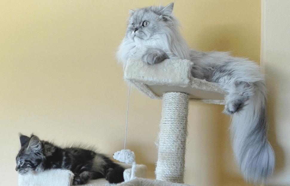 enfermedades gatos persas