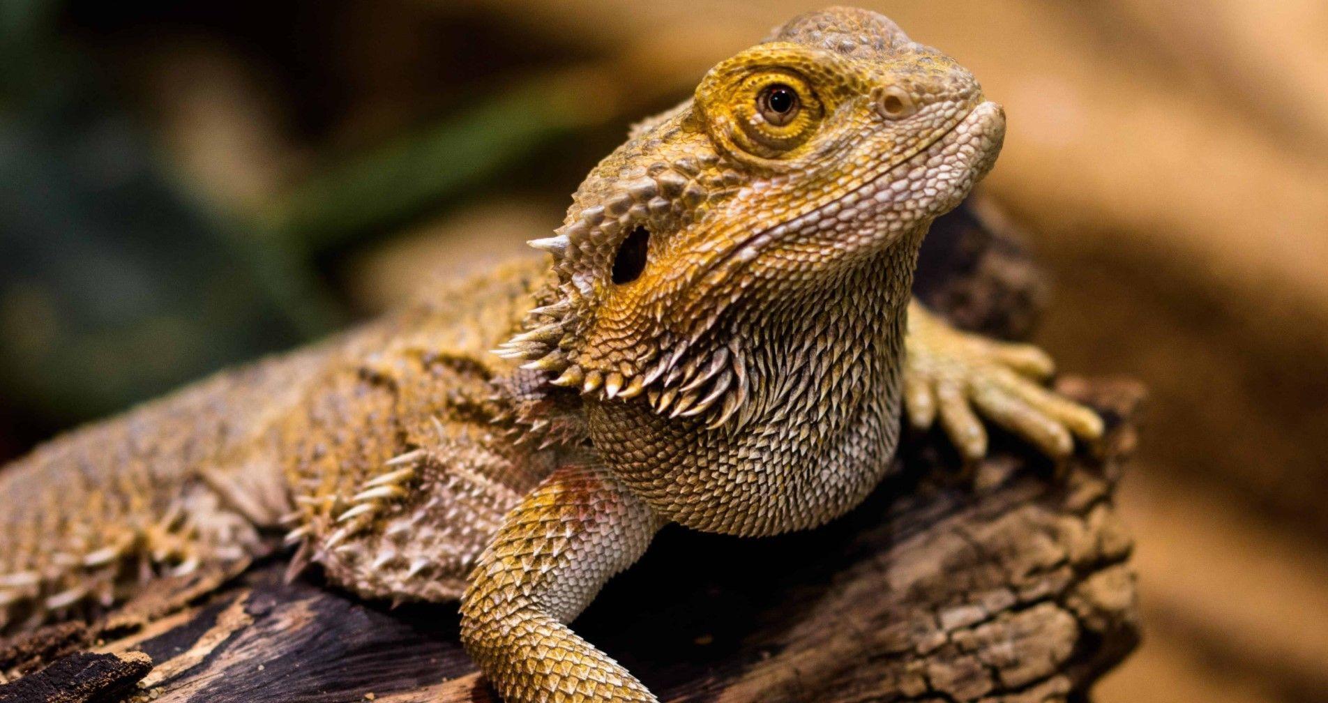 Enfermedades en iguanas