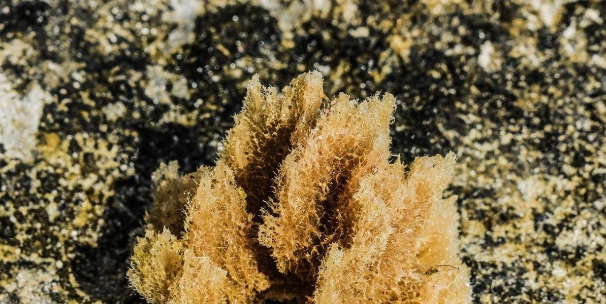 esponja de mar invertebrada