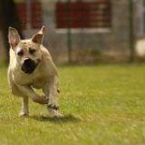 Las 10 razas de perros más fuertes