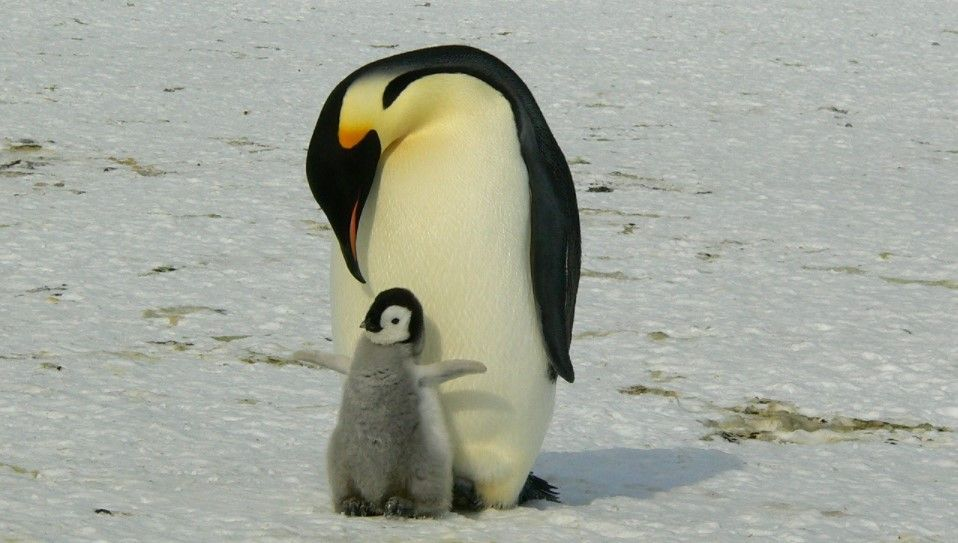 pingüino emperador pequeño