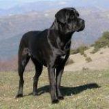 Conoce al perro Cane Corso