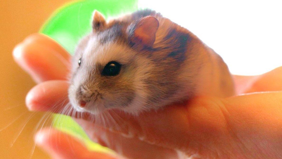 todo sobre el hamster